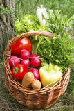 Bio Vegetables and Green Herbs Basket Freshly Picked from the Ga Royalty Free Stock Image