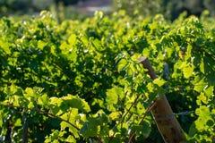 Bio- vigna dell'uva del vino rosso della cantina in Provenza, a sud della Francia immagine stock