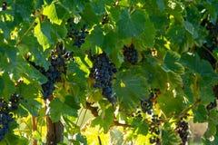 Bio- vigna dell'uva del vino rosso della cantina in Provenza, a sud della Francia fotografie stock libere da diritti