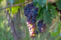 Bio- vigna dell'uva del vino rosso della cantina in Provenza, a sud della Francia immagini stock