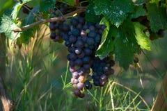 Bio- vigna dell'uva del vino rosso della cantina in Provenza, a sud della Francia fotografia stock libera da diritti