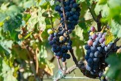 Bio- vigna dell'uva del vino rosso della cantina in Provenza, a sud della Francia immagini stock libere da diritti
