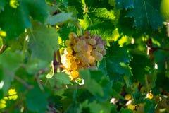 Bio vingård för druva för vitt vin för vinodling i Provence, söder av franc royaltyfri bild