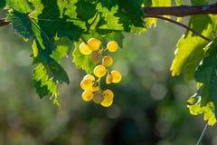 Bio vingård för druva för vitt vin för vinodling i Provence, söder av franc arkivfoton