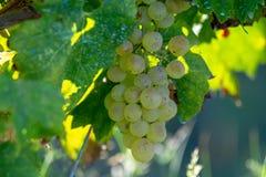 Bio vingård för druva för vitt vin för vinodling i Provence, söder av franc arkivbilder