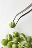 Biochemistry research. Germinated pea on tweezer royalty free stock photography