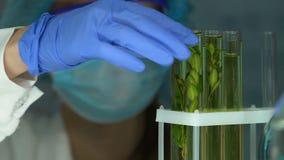 Biochimico che controlla il campione di pianta in provetta, influenza degli antiparassitari, agricoltura video d archivio