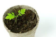 Biodegradable бак мха торфа при саженцы томата изолированные на wh Стоковое Фото