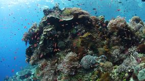 Biodiverse Coral Reef in Indonesia. Colorful fish swim above a vibrant coral reef near Alor, Indonesia. This tropical region, part of the Coral Triangle, is home stock footage