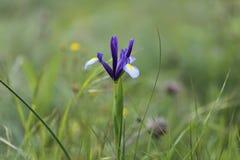 Biodiversità naturale Pianta dell'iride nel campo immagine stock
