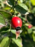 Biodra na krzaku w lesie w jesieni Zdjęcia Royalty Free