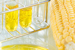 Biofuel or Corn Syrup sweetcorn Stock Image