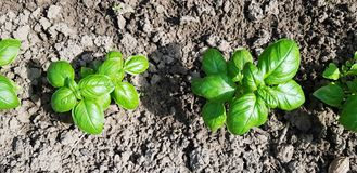 Biohof, wenig Basilikumwachstum im Bodenabschluß oben von oben lizenzfreie stockfotos
