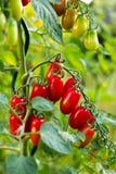Biokirschtomaten im Garten Lizenzfreie Stockfotos