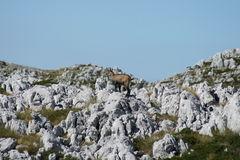 Biokovo Mountain / Chamois Royalty Free Stock Images