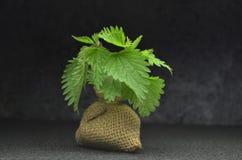 Biokräuterblätter der frischen Nessel Stockfotos