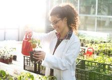 Biolożki podlewania rozsady w szklarni Zdjęcia Stock