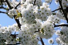 Biología del flor con polen del pétalo del pistilo Imagen de archivo libre de regalías