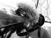Biología plástica del modelo de exposición del abejorro Fotos de archivo