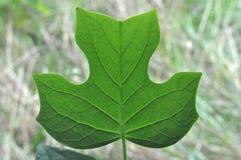 Biologia básica da árvore: Veias da folha Fotografia de Stock Royalty Free
