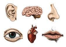 Biologia umana, illustrazione di anatomia degli organi inciso disegnato a mano nel vecchio stile dell'annata e di schizzo bacio d illustrazione di stock