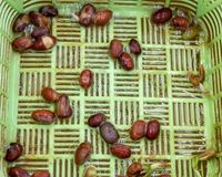 Biological and botanical experiments. Germinated grains of beans on a green plastic grid. Healthy lifestyle concept. Hydroponics. royalty free stock photos