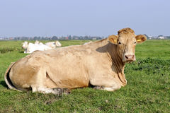 Biological cow on grassland Royalty Free Stock Photos