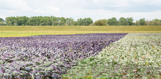 Biological cultivation of green and red cabbages Royalty Free Stock Image