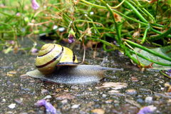 Biological Drive Cleaner. A snail cleaning the detritus from a driveway, a biological and ecologically friendly natural drive cleaner Royalty Free Stock Image