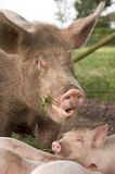 Biological Farm Pig. Dirty pig and piglet eating clover on a biological farm Stock Images