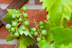 Biological grapes Stock Images