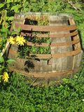 Biological organic naturally yellow flowers with a barrel and bumblebees, bees. Nature yellow flowers in daylight with an old barrel, bumblebees and bees for royalty free stock image