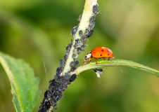Biological Pest Control. Ladybug eating lice Stock Photos