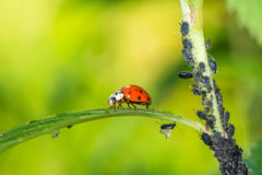 Biological Pest Control. Ladybug eating lice Royalty Free Stock Photos