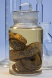 Biological Specimen - Snake. A laboratory specimen of a snake preserved in a solution of formaldehyde (methanal Stock Images