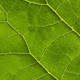 Biological texture. Interesting biological texture of the leaf illuminated from the inside Royalty Free Stock Photos