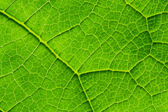 Biological texture of the leaf. Interesting biological texture of the leaf illuminated from the inside Royalty Free Stock Images