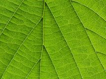 Biological texture of the leaf Stock Image