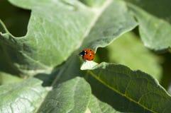 Biologiczna kontrola, biedronki łasowania leafe w warzywo ogródzie obraz royalty free