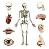 Biologie humaine, illustration d'anatomie gravé tiré par la main dans le vieux style de croquis et de vintage silhouette de crâne illustration de vecteur