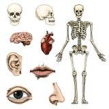 Biologie humaine, illustration d'anatomie gravé tiré par la main dans le vieux style de croquis et de vintage silhouette de crâne illustration libre de droits