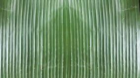Biologisch afbreekbare dienbladvoering voor lijst bij restaurant, de Heldere Achtergrond van het Banaanblad, behang van de close- Royalty-vrije Stock Fotografie