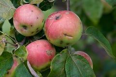 Biologische Äpfel lizenzfreies stockfoto