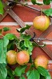 Biologische appelen royalty-vrije stock foto's