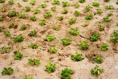 Biologische landbouwachtergrond Het jonge Groeien van Installaties Royalty-vrije Stock Fotografie
