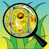 Biologisches Zellgras, das durch ein Vergrößerungsglas schaut Stockfoto