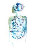 biologisk klocka Arkivbild