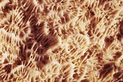 Biologisk textur av naturlig havskorall Arkivfoto