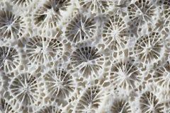 Biologisk textur av naturlig havskorall Arkivbilder