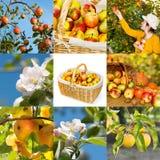 Biologiska äpplen, collage Arkivfoto